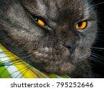 Small photo of Scottish Fold cat, arrogant look