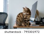 Stock photo bengal cat sitting on the messed work desk in the office 795301972