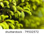 Closeup Of Fir Branches With...