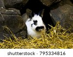 Stock photo rabbit bunny in hole sitting at home black and white fluffy rabbit or bunny on animal farm in 795334816
