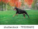 Black Doberman Pinscher Runs O...