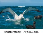 Small photo of Emperor Albatross New Zealand,Largest of all albatrosses this magnificent bird spends more than 85% of the time at sea with a wing span up to three meters.