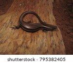 mabuya skink lizard   Shutterstock . vector #795382405
