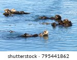 california sea otters grooming... | Shutterstock . vector #795441862