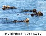 California Sea Otters Grooming...