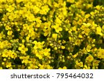 Small photo of Aurinia saxatilis gold alyssum many yellow flowers with green