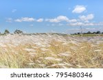 Poaceae  Of Grass In A Field I...