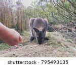 Human Hand Feeding Baby Wallab...