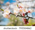 apricot tree flower with buds... | Shutterstock . vector #795504862