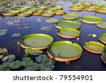 Victoria Regia - the largest waterlily in the world - stock photo