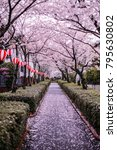 sakura in japan | Shutterstock . vector #795630802