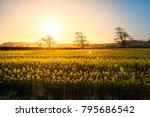 Fields Of Gold. Rapeseed Field...
