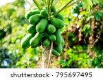 Papaya Tree In The Garden.