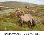 shetland pony south uist outer... | Shutterstock . vector #795766438