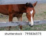 portrait of chestnut horse... | Shutterstock . vector #795836575