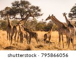 group of giraffes in africa  | Shutterstock . vector #795866056