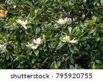 Southern Magnolia  Magnolia...
