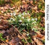 first spring flowers snowdrops. ... | Shutterstock . vector #795970156