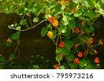 Orange Nasturtiums In A Garden