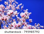 Small photo of Great texture of magnolia pink flowers on blue sky background, with shallow depth of field and selective focus on flowers petals. Magnolia flowers in spring with blue sky background and with buds.