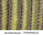 saguaro cactus needles skin...   Shutterstock . vector #795994015