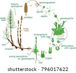 equisetum life cycle. diagram... | Shutterstock .eps vector #796017622
