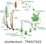 equisetum life cycle. diagram... | Shutterstock .eps vector #796017622