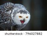 portrait of screaming snowy owl ... | Shutterstock . vector #796027882