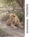 Small photo of Blonde Maned Male Lion in Africa