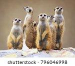 Group Of Watching Surricatas...