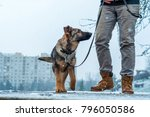 Stock photo a german shepherd puppy dog a leash with its owner on in a winter urban environment with snowfall 796050586