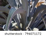 agave plant close up desert... | Shutterstock . vector #796071172