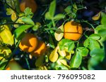 oranges hanging from tree... | Shutterstock . vector #796095082