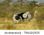 male somali ostrich courting... | Shutterstock . vector #796101925