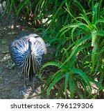 The Vulturine Guineafowl ...