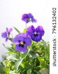 Violeta Plant With Flowers