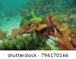 Seaweeds And Kelp Of Various...