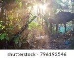 ducks in the coop in local farm ... | Shutterstock . vector #796192546