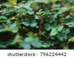 green leaf clover  | Shutterstock . vector #796224442