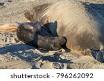 Small photo of Female elephant seal with infant pup sleeping on a beach in California. Pups nurse about four weeks are weaned abruptly then abandoned by their mother, who heads out to sea within days.