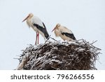ciconia ciconia. pair of white... | Shutterstock . vector #796266556