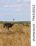A Female Ostrich Walking In Th...