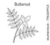 butternut   juglans cinerea  ... | Shutterstock .eps vector #796369915