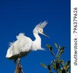 beautiful white egrets snowy...   Shutterstock . vector #796379626