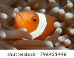 a curious clown fish watches... | Shutterstock . vector #796421446