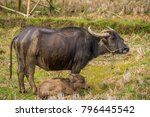 thai mother buffalo and baby... | Shutterstock . vector #796445542