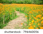 yellow cosmos field in thailand | Shutterstock . vector #796460056