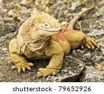 Land Iguana  Conolophus...