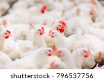 indoors chicken farm  chicken... | Shutterstock . vector #796537756