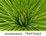 close up of a agave striata ... | Shutterstock . vector #796576462